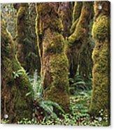 Mossy Big Leaf Maples In Hoh Rainforest Acrylic Print