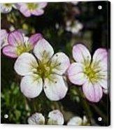 Mossy Saxifrage Flower Carpet Acrylic Print