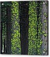 Mossy Sentinels Acrylic Print