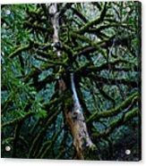 Mossy Tree Acrylic Print
