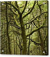 Mossy Welsh Forest  Acrylic Print