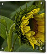 Mostly Open Sunflower Acrylic Print