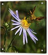 Moth Feeding On Aster Dragon Acrylic Print