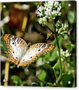 Moth On White Flower Acrylic Print