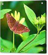 Moth On Yellow Acrylic Print
