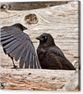 Mother And Baby Crow At The Beach Acrylic Print