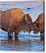 Mother And Calf Bison In The Lamar River In Yellowstone National Park Acrylic Print