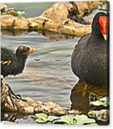 Mother And Chick Acrylic Print