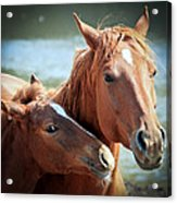 Mother And Filly Acrylic Print