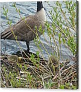 Mother And Child Canadian Geese Acrylic Print