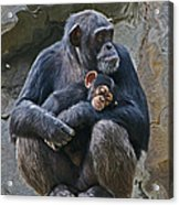 Mother And Child Chimpanzee Acrylic Print