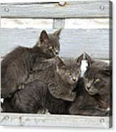 Cat And Kittens Acrylic Print
