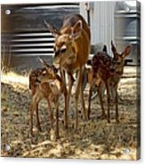 Mother And Two Fawn  Acrylic Print
