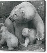 Mother Bear Shows Off Her Twin Babies. Tiyak And Tineak - Acrylic Print