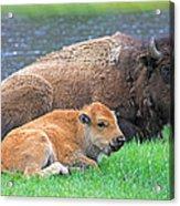 Mother Buffalo And Calf Yellowstone Acrylic Print