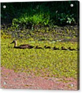 Mother Duck And Baby Ducks Acrylic Print