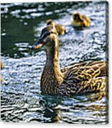 Mother Duck Acrylic Print