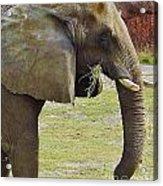 Mother Elephant Acrylic Print