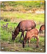 Mother Elk With Her Young Acrylic Print