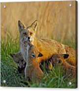 Mother Fox And Kits Acrylic Print by William Jobes
