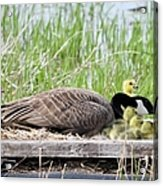 Mother Goose 2 Acrylic Print