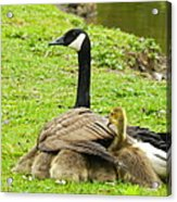 Mother Goose Acrylic Print by Bruce Brandli