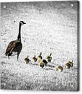 Mother Goose Acrylic Print by Elena Elisseeva