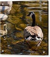 Mother Goose Il Acrylic Print