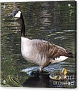 Mother Goose Is Watching Acrylic Print