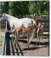 Mother Horse With Twin Colts Acrylic Print