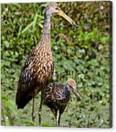 Mother Limpkin And Colt Acrylic Print