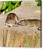 Mother Rat With Youngster Acrylic Print