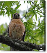 Mother Red Shouldered Hawk Acrylic Print