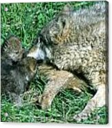 Mother Wolf Nuzzles Cubs Acrylic Print