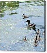 Mother Wood Duck Acrylic Print