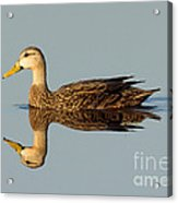 Mottled Duck Acrylic Print