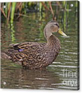 Mottled Duck Drake Acrylic Print