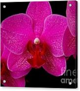 Mottled Orchid 8 Acrylic Print