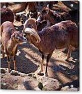 Mouflon Acrylic Print