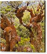 Mountain Beech Rain Forest In Fjordland Np Nz Acrylic Print