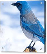 Mountain Blue Bird Acrylic Print