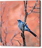 Mountain Blue Bird Acrylic Print