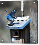 Mountain Bluebirds Mating Acrylic Print