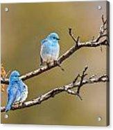 Mountain Bluebirds Acrylic Print