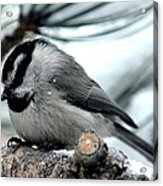 Mountain Chickadee During A Light Snow Acrylic Print