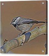Mountain Chickadee Acrylic Print