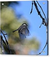 Mountain Chickadee Acrylic Print