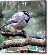 Mountain Chickadee On A Rainy Day Acrylic Print