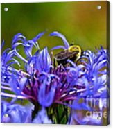 Mountain Cornflower And Bumble Bee Acrylic Print