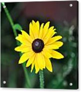 Mountain Daisy Yellow Acrylic Print